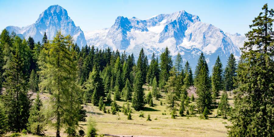 Zirbelkiefer Alpen