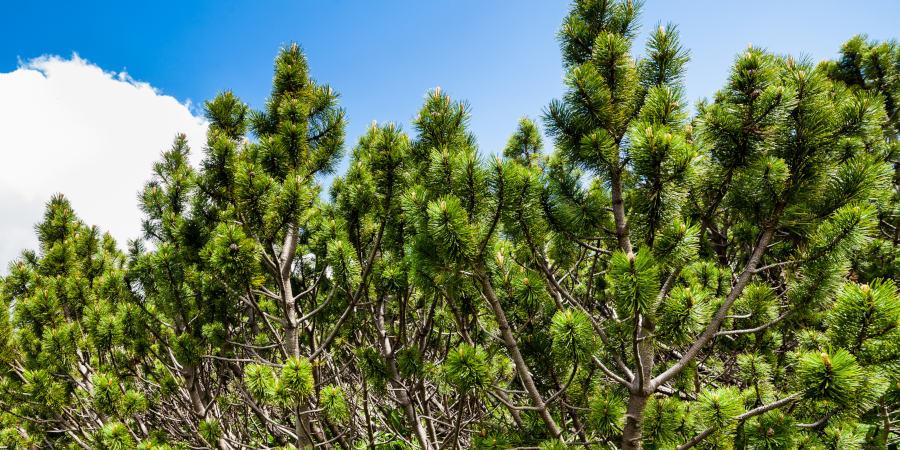 Zirbelkiefer Baum
