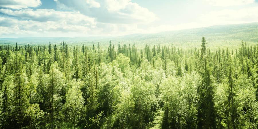 Zirbelkiefer Wald
